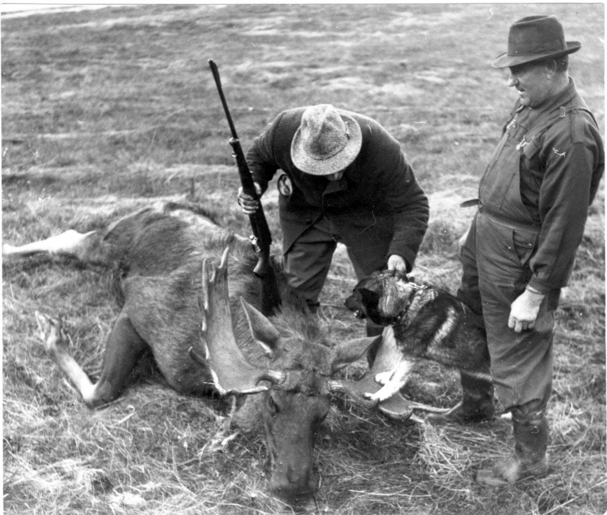 Två män och en jakthund intill en skjuten älg.