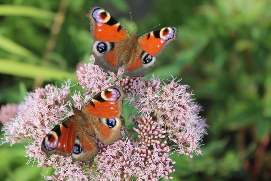 En vacker fjäril med ett mönster som påminner om ett öga på vardera vingen.