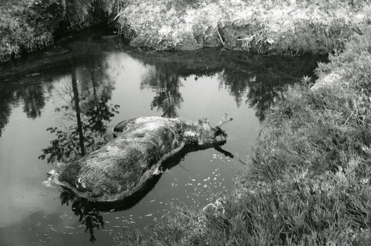Ett djurkadaver ligger i ett vattenhål.