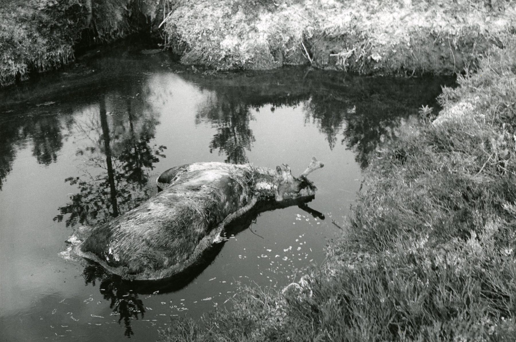 Avliden älg i vattenhål