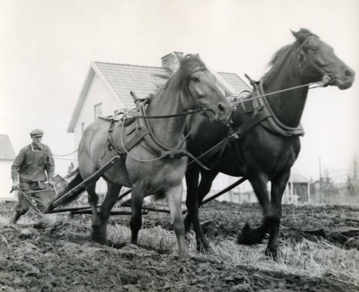 Två hästar plöjer åkermark med bonden bakom plogen.