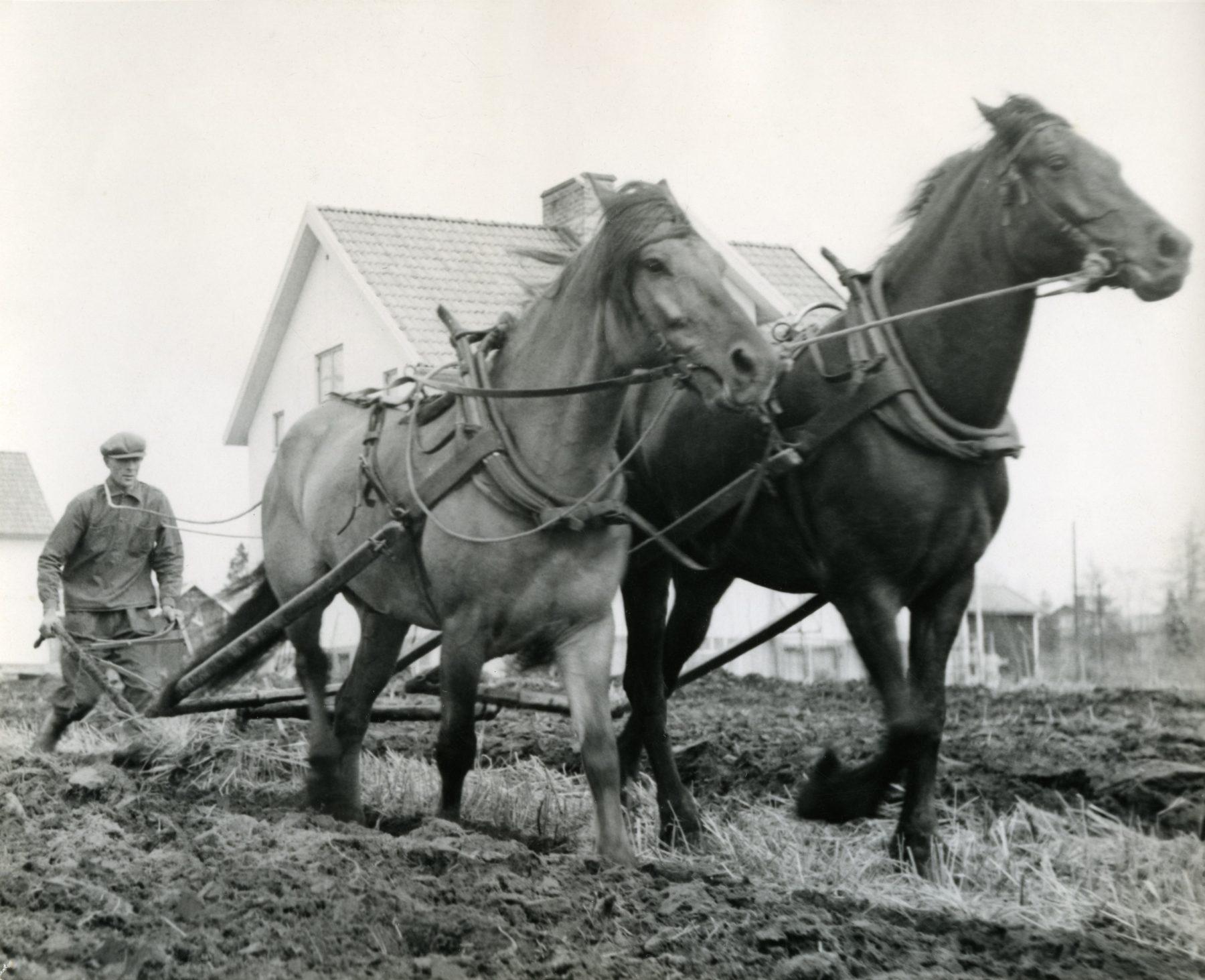 Hästar plöjer åkermark