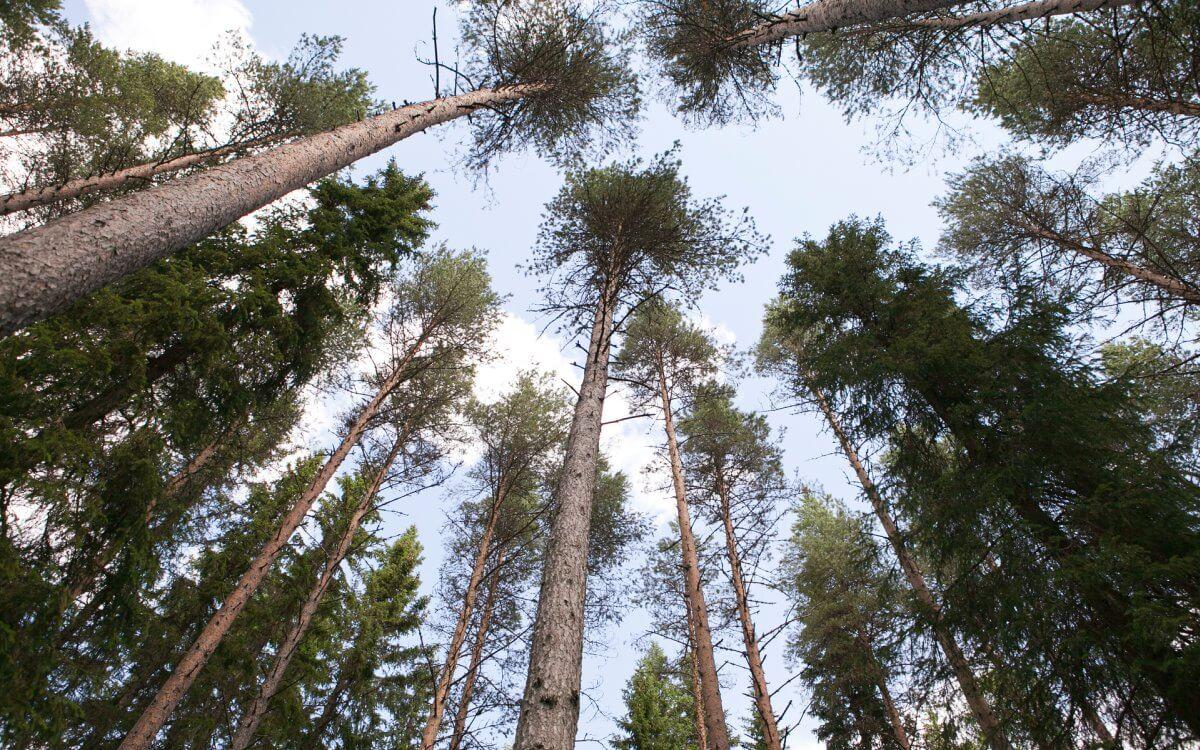 Trädkronor fotade nedifrån